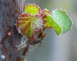"notice the beads of moisture/sap on the leaf edge and the bark, 1/2"" leaf bud will grow to 2"""